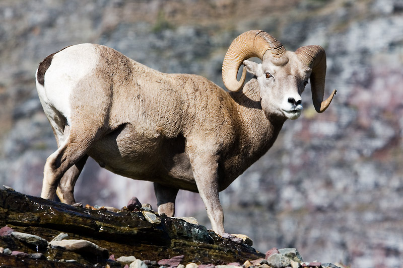 Big Horn Sheep - Logan Pass